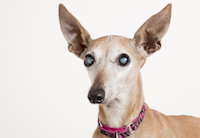 diabetic dog with cataracts