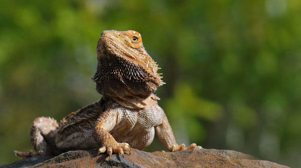 Bearded Dragon - Posing like a champ on a large boulder with soft focus green foliage in the background