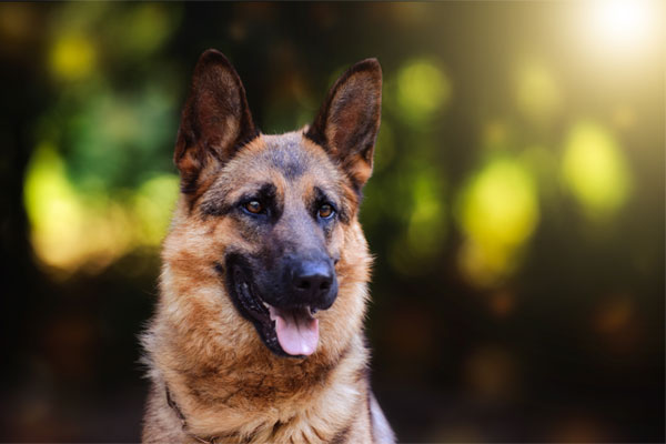 Dog breed German shepherd on nature