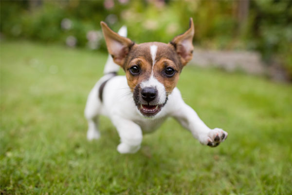 A very little puppy is running happily with floppy ears trough a garden with green grass.