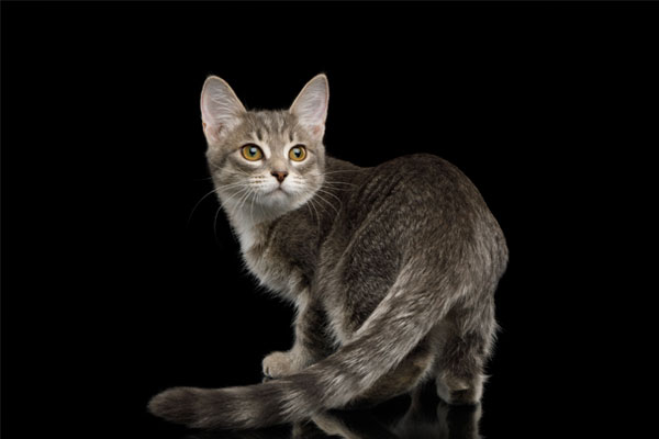 Gray Tabby Kitten Turned back on Isolated Black Background