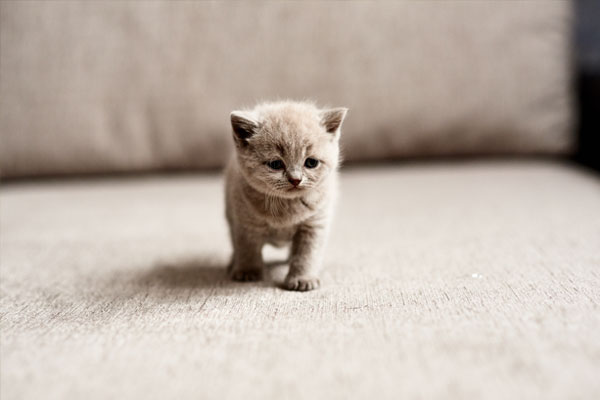 The British lilac kitten looks forward