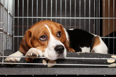 Sad Beagle Dog lying in cage