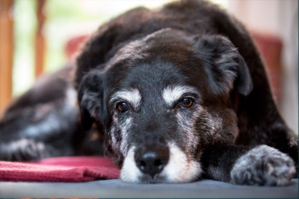 Old dog lying down