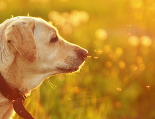 Straight to the Heart: The Facts About Heartworm Disease in Pets