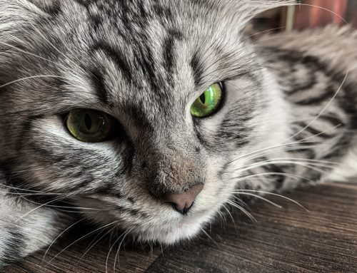 Feline Veterinary Care: A Timeline for Great Health